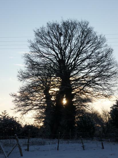 Le chêne